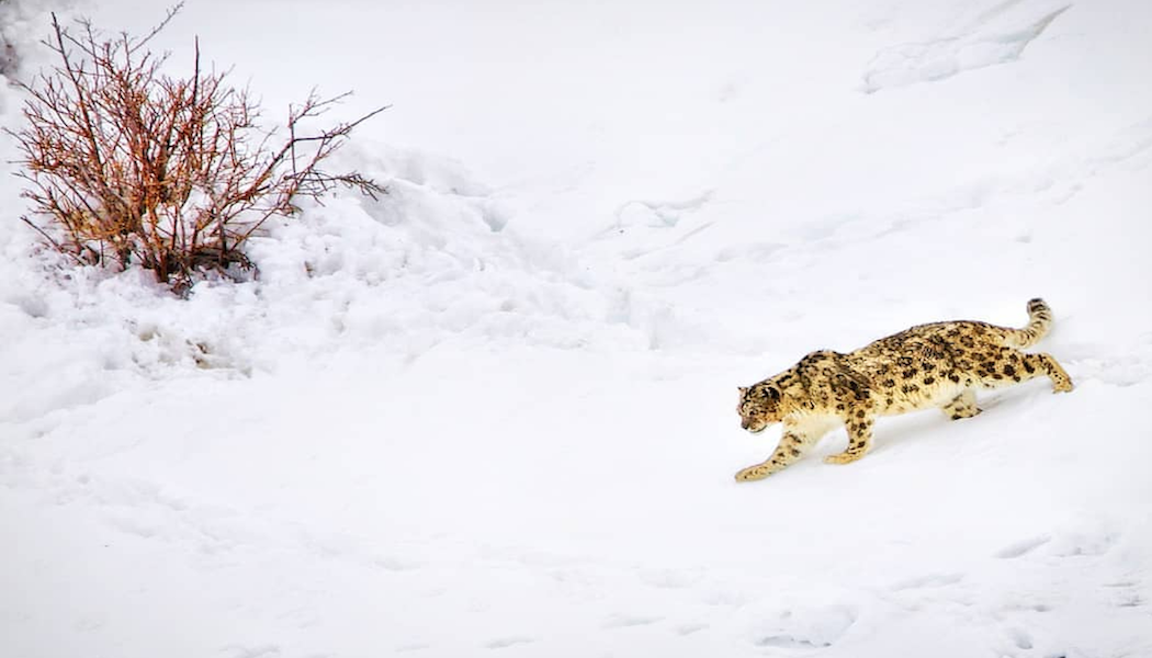 Snow Leopard Expedition with Abhinav Chandel and Vibhu Grover
